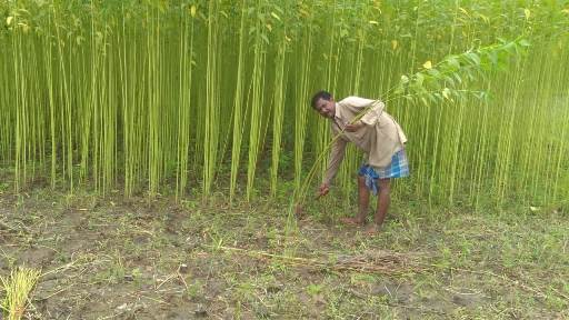 Line Sowing of jute by using Seed Drill Machine supplied to the farmers under Jute ICARE Project